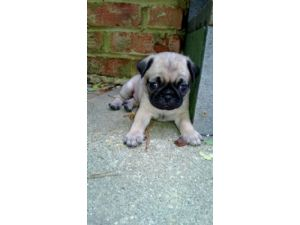 pug breeders in va pug puppies for sale adorable pug puppies in va registered 3291