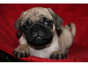 pug breeders in va pug puppies for sale adorable pug puppies in va registered 8669