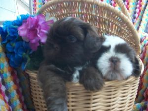 shih tzu puppies for sale in ma shih tzu puppies for sale shih tzu puppies massachusetts 2815