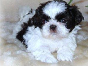 shih tzu puppies for sale in ma shih tzu puppies for sale shih tzu puppies massachusetts 8103