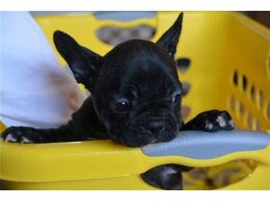 french bulldog rochester ny french bulldog puppies for sale gentle sweet females 5703