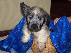 skye terrier for sale skye terrier puppies for sale adorable rare skye terriers 6838